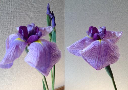 irisbloom.jpg